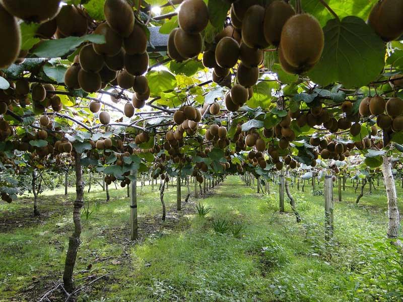 Kiwis em plantação, durante o dia, na Nova Zelândia