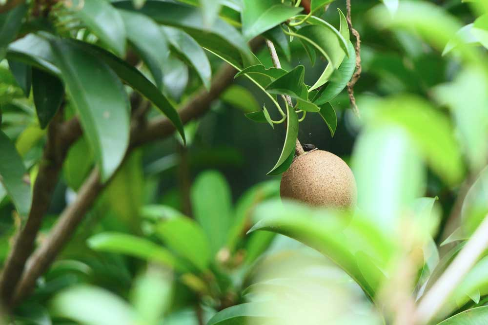 Kiwi em plantação na Nova Zelândia