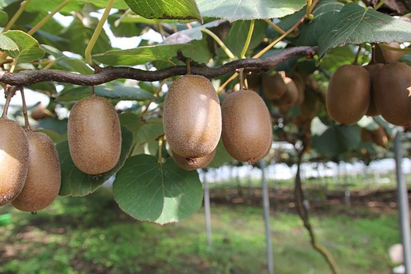 Kiwis em plantação, durante o dia, onde há boas oportunidades de emprego na Nova Zelândia