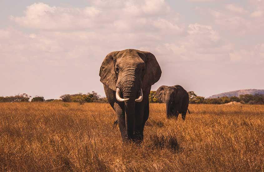 elefantes caminham em gramado de Parque Nacional de Pilanesberg um dos lugares a ser visitado entre muito o que fazer em Joanesburgo áfrica do sul