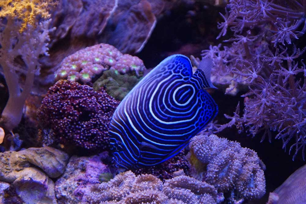 Recife de coral com algas coloridos, e um peixe listrado azul e branco