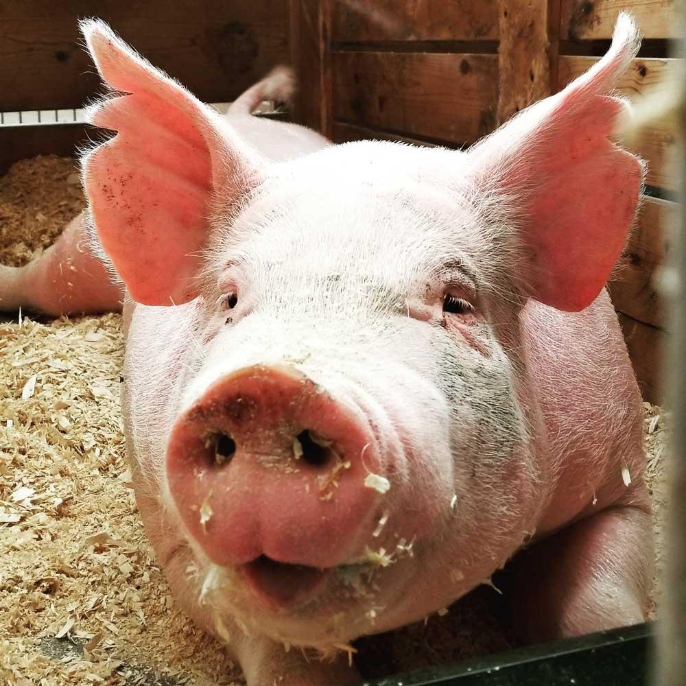 porco em chiqueiro em um santuário animal