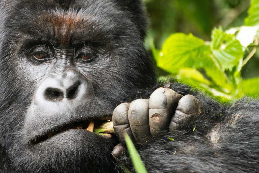 chimpanzé come folha em santuário animal