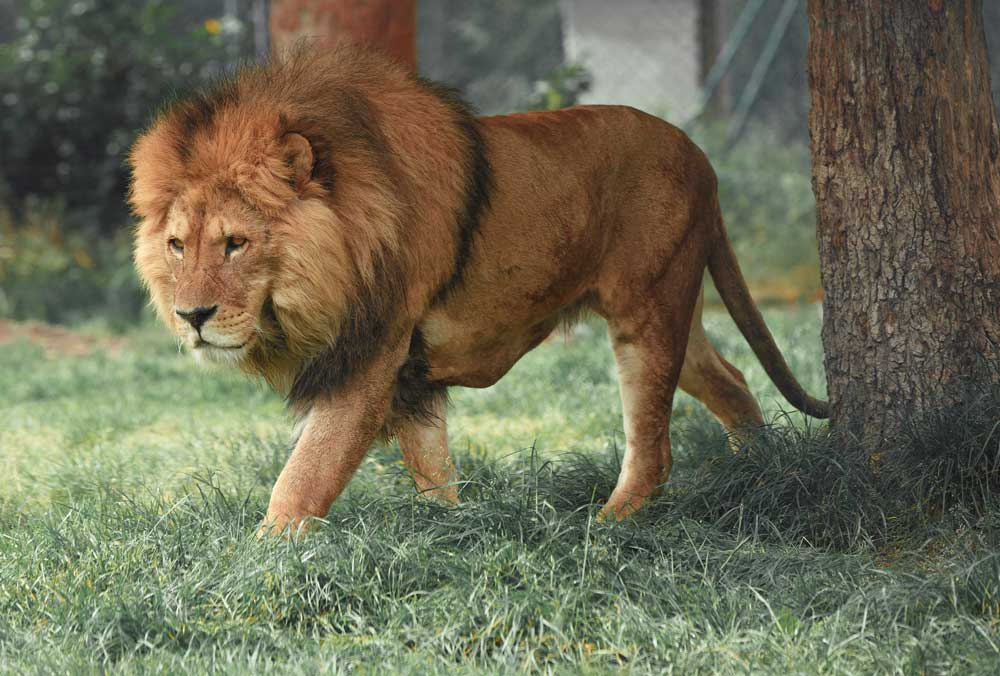 leão em grama em santuário animal
