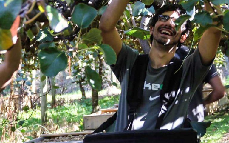 Viajante colhendo kiwis em colheira de frutas, uma das opções de emprego na Nova Zelândia