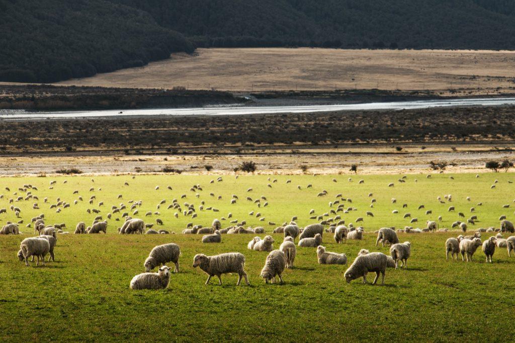 ovelhas em campo na Nova Zelândia