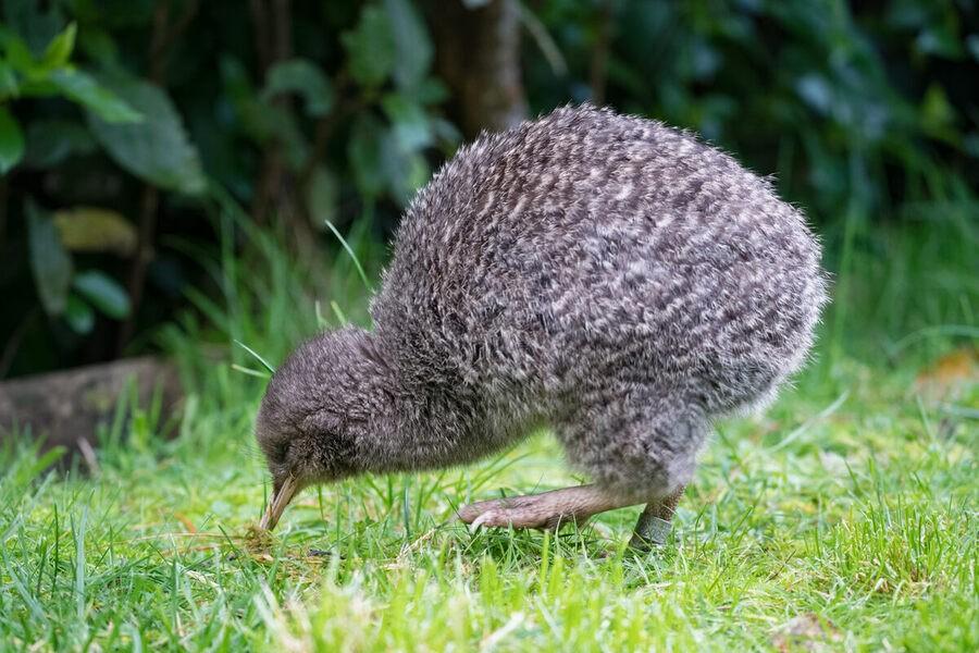 Kiwi, uma ave da Nova Zelândia em grama, durante o dia