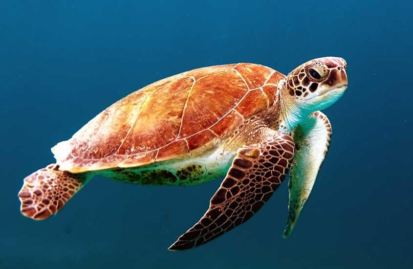 Tartaruga nadando em águas cristalinas de Arraial do Cabo, na Região dos Lagos