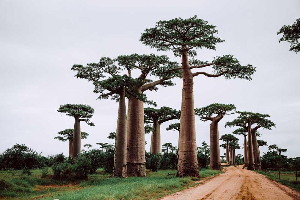 Vista panorâmica, durante o dia, de Baobás, árvores nativas de Madagascar, que chegam a 30 metros de altura, em um dos lugares para viajar barato
