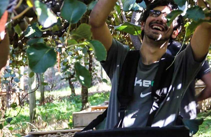 viajante colhe kiwis na nova zelândia, uma forma de viajar barato