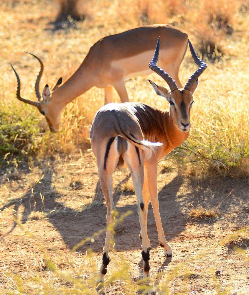 cervos em campo, uma das curiosidades da África do Sul é que ela é um dos melhores lugares para observar a vida selvagem
