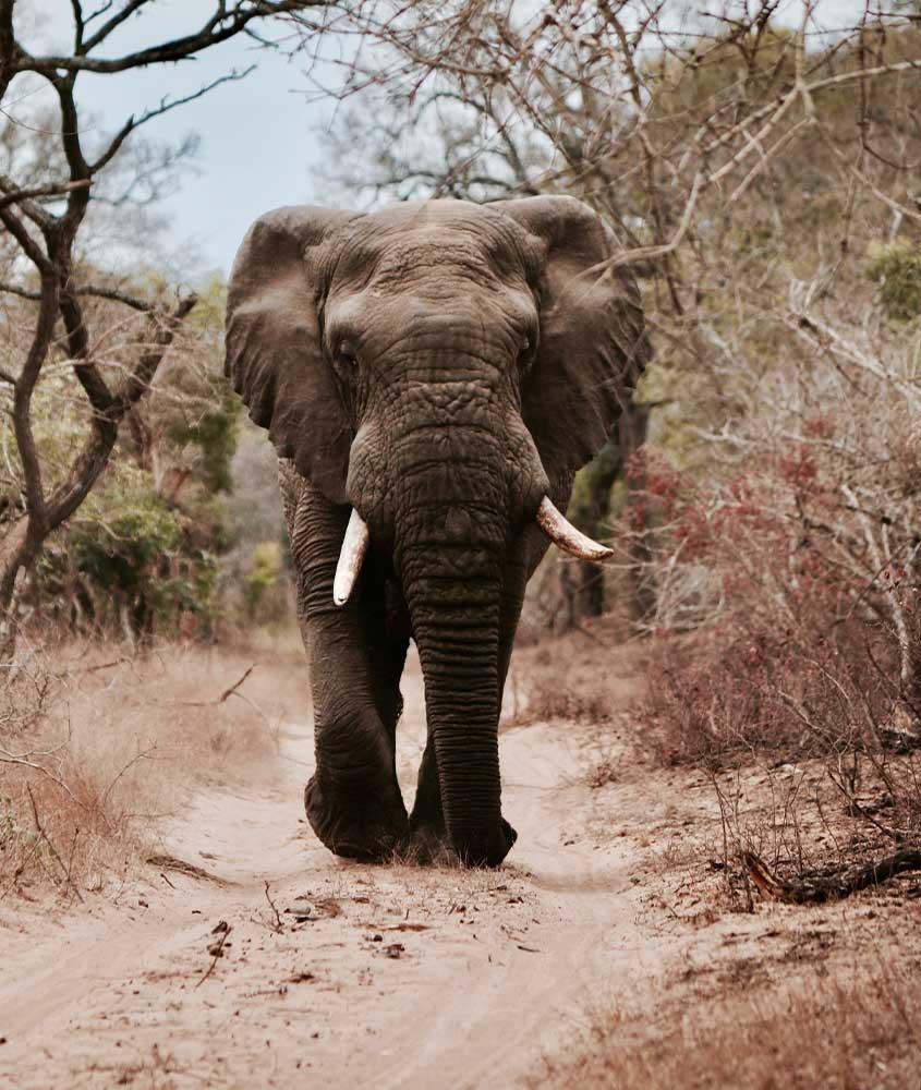elefante em campo, uma das curiosidades da África do Sul é que ela tem alguns dos animais selvagens mais interessantes do mundo