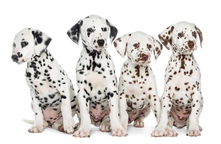 dálmatas em fundo branco, uma das curiosidades sobre a Croácia é que essa raça de cães é desse país