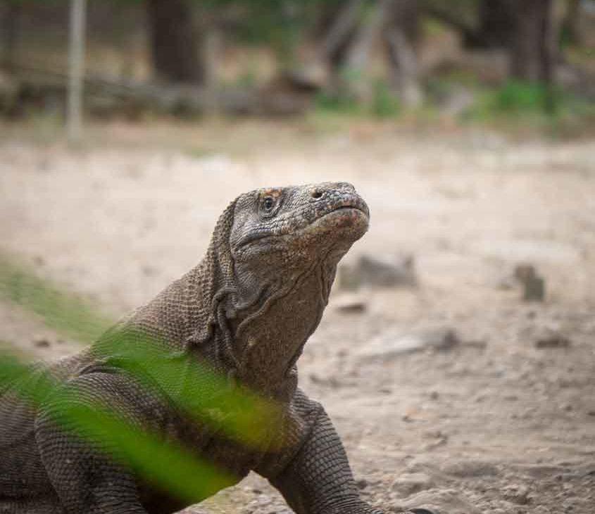 lagarto conhecido como o dragão de Komodo em areia
