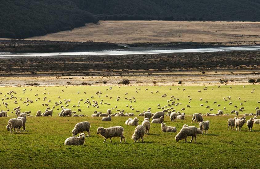 ovelhas em campo na nova Zelândia, durante o durante o dia