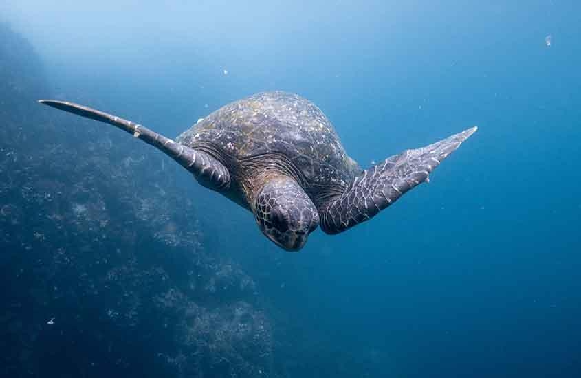 tartaruga nadando em águas da Ilhas Galápagos, um dos melhores lugares para mergulhar no mundo