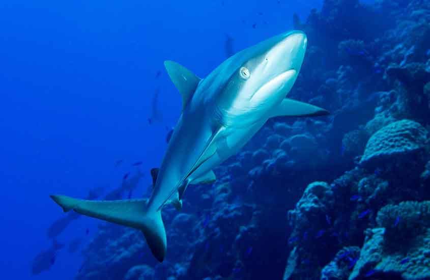 tubarão em Atol de Bikini