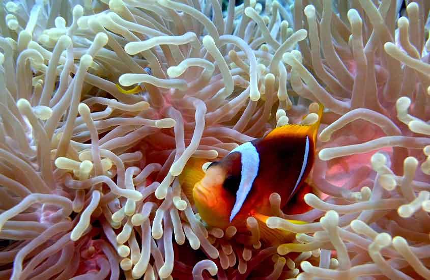 peixe palhaço em mar das Filipinas