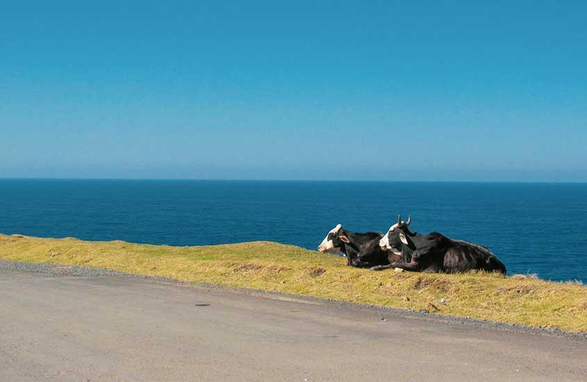 vacas deitadas em grama em Coffee Bay, lar de uma das melhores praias da África do Sul