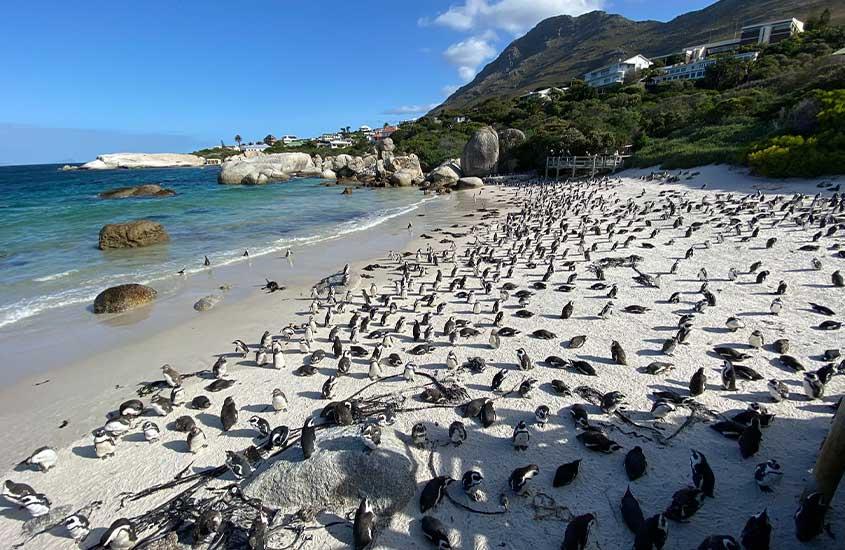pinguins em areia de Boulders, uma das melhores praias da África do Sul
