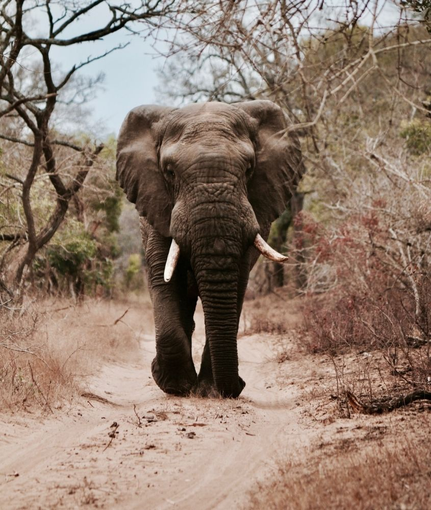Elefante em floresta. Um dos mitos sobre viajar para a África é que os animais selvagens vagam livremente